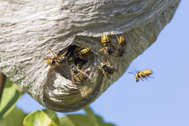 En milieu naturel, les nids de guêpes ne représentent pas de danger pour l'Homme, mais sur et à proximité immédiate des habitations, la cohabitation se complique et la question de la destruction peut se poser. (Photo: Shutterstock)