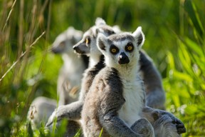 There are also lemurs  Photo: Morgane Bricard