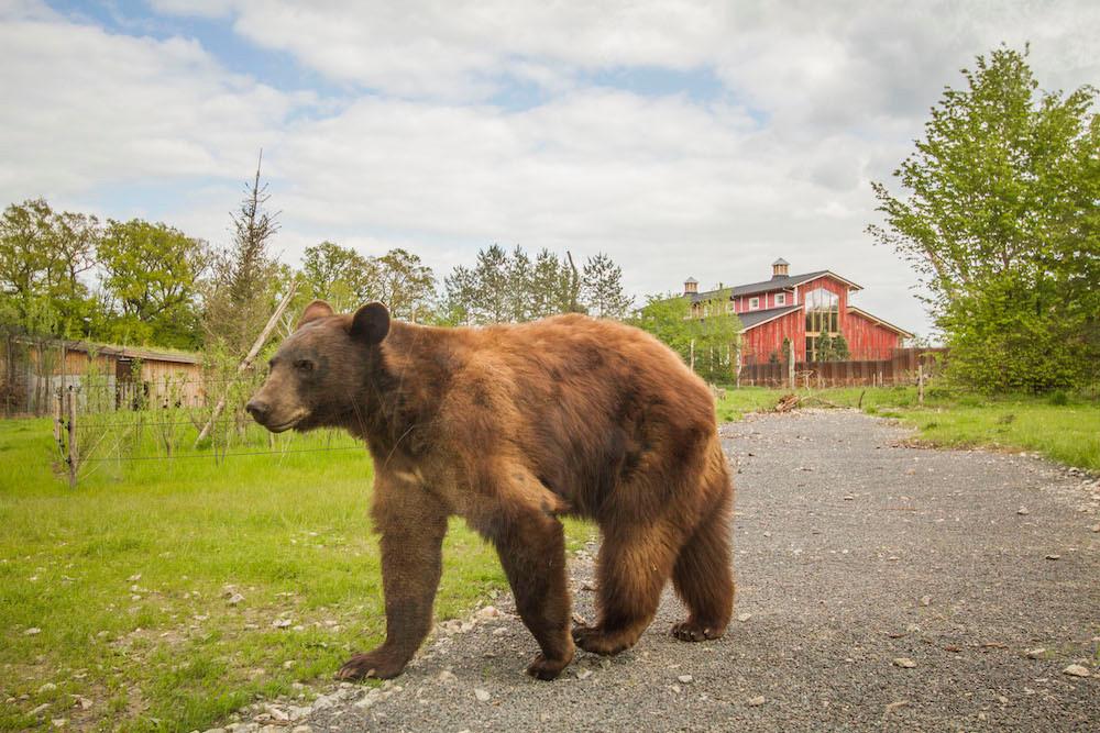 The bears live close to the houses  Photo: Morgane Bricard