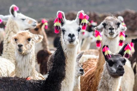 Un premier anti-inflammatoire à base d'ADN de lama pourrait être commercialisé aux États-Unis cette année. Un produit d'une biotech néerlandaise coté au Bel20. (Photo: Shutterstock)