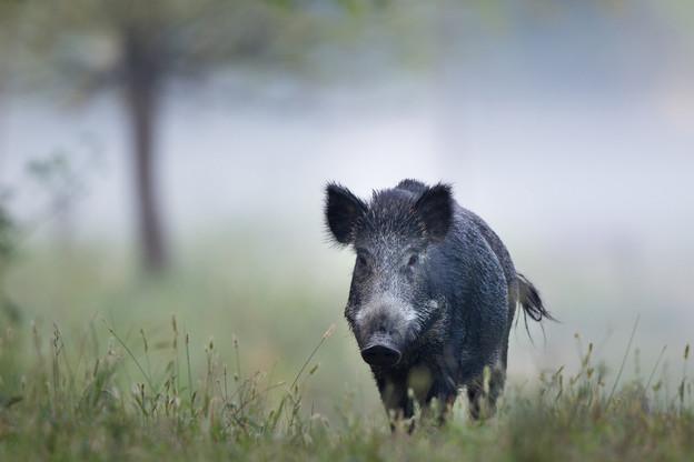Les populations de sangliers ont été fortement réduites dans les forêts de Gaume. (Photo: Shutterstock)