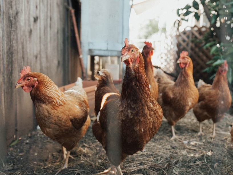 Luxembourg's veterinary safety agency has instituted biosecurity measures after a case of avian influenza was confirmed this week. Photo credit: William Moreland/Unsplash