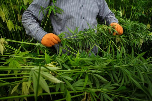 Le cannabis est la drogue la plus répandue à travers le pays. 23,3% des résidents entre 15 et 64ans en ont consommé au moins une fois au cours de leur vie. (Photo: Matic Zorman/Maison Moderne)