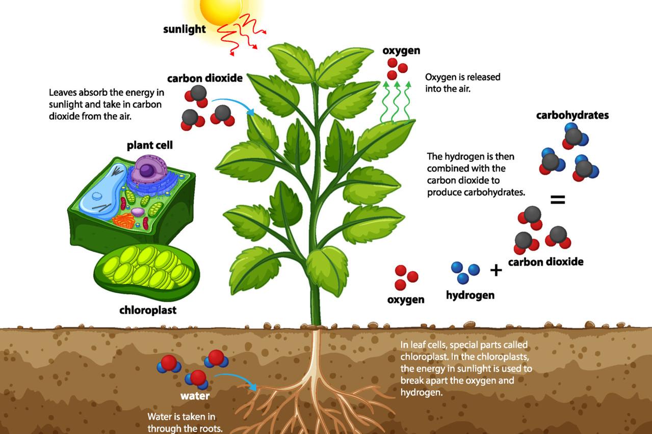 Une illustration de la manière dont se déroule la photosynthèse, ou commentles plantes vertes synthétisent des matières organiques grâce au soleil, en absorbant le gaz carbonique de l'air et en rejetant de l'oxygène. (Photo: Shutterstock)