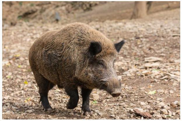 Romain Schneider: «Le virus de la PPA affecte les sangliers et les porcs domestiques, mais ne présente aucun risque pour l'homme». (Photo: Shutterstock)