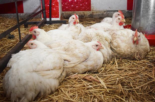 Les autorités luxembourgeoises n'expriment pas d'inquiétude, alors que la grippe aviaire fait son retour en Europe. (Photo: Shutterstock)