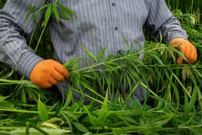 Il sera possible de cultiver jusqu'à quatreplants de cannabis à usage récréatif dans sa résidence principale. (Photo: Matic Zorman/Archives)
