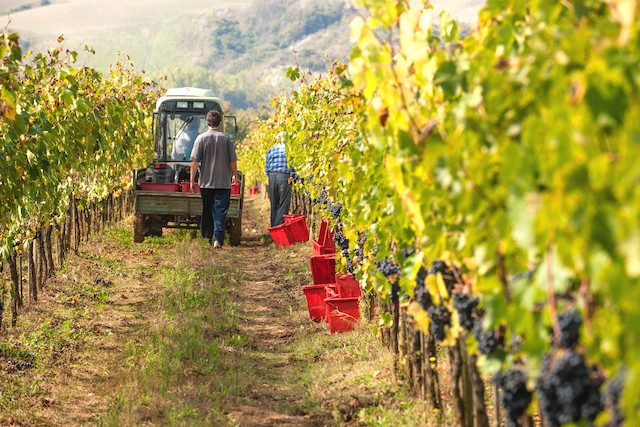 Illustration photo shows a grape harvest in Tuscany, Italy Shutterstock