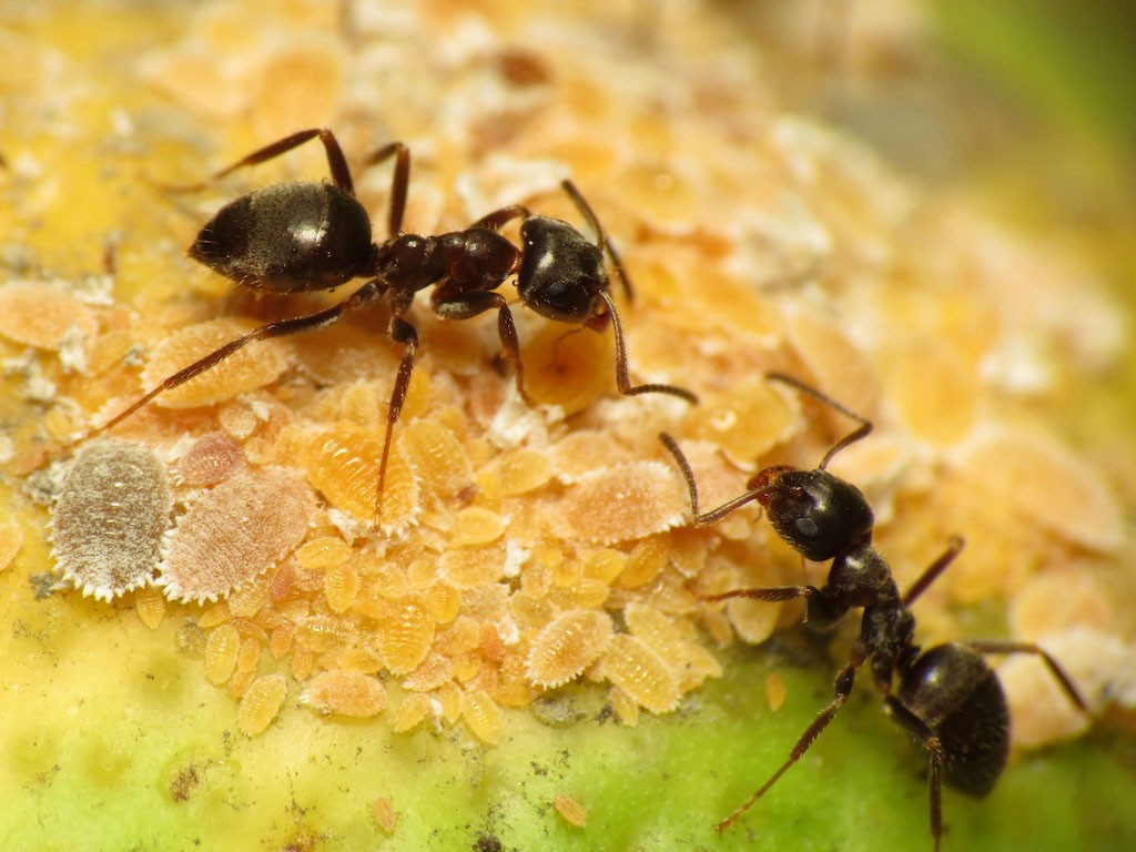 Black garden ants tending citrus mealybugs, one of the pests targeted in the new pheromone-based research Katja Schulz/Creative Commons