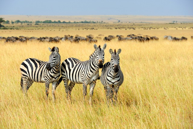 Pattern seems to confuse flies, researchers who dressed horses up as zebras find Shutterstock