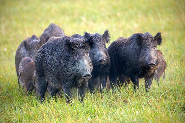 Les animaux qui pénétreront entre les deux clôtures seront abattus. (Photo: Shutterstock)