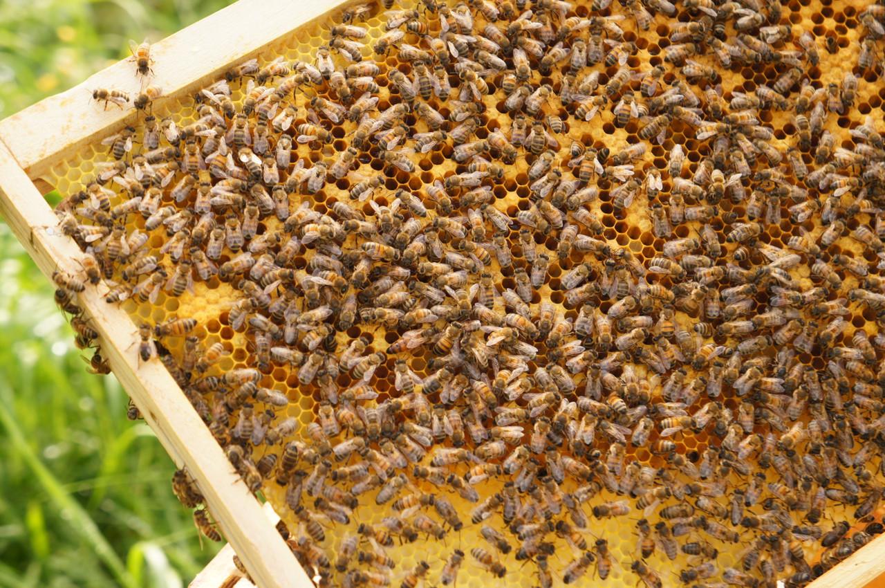 Hugo Zeler: «Lorsqu'elles récoltent du miel à la belle saison, juin-juillet, les abeilles ne s'éloignent pas à plus de 500m de leur ruche. Ce qui veut dire que c'est un miel très local.» (Photo: Delano)