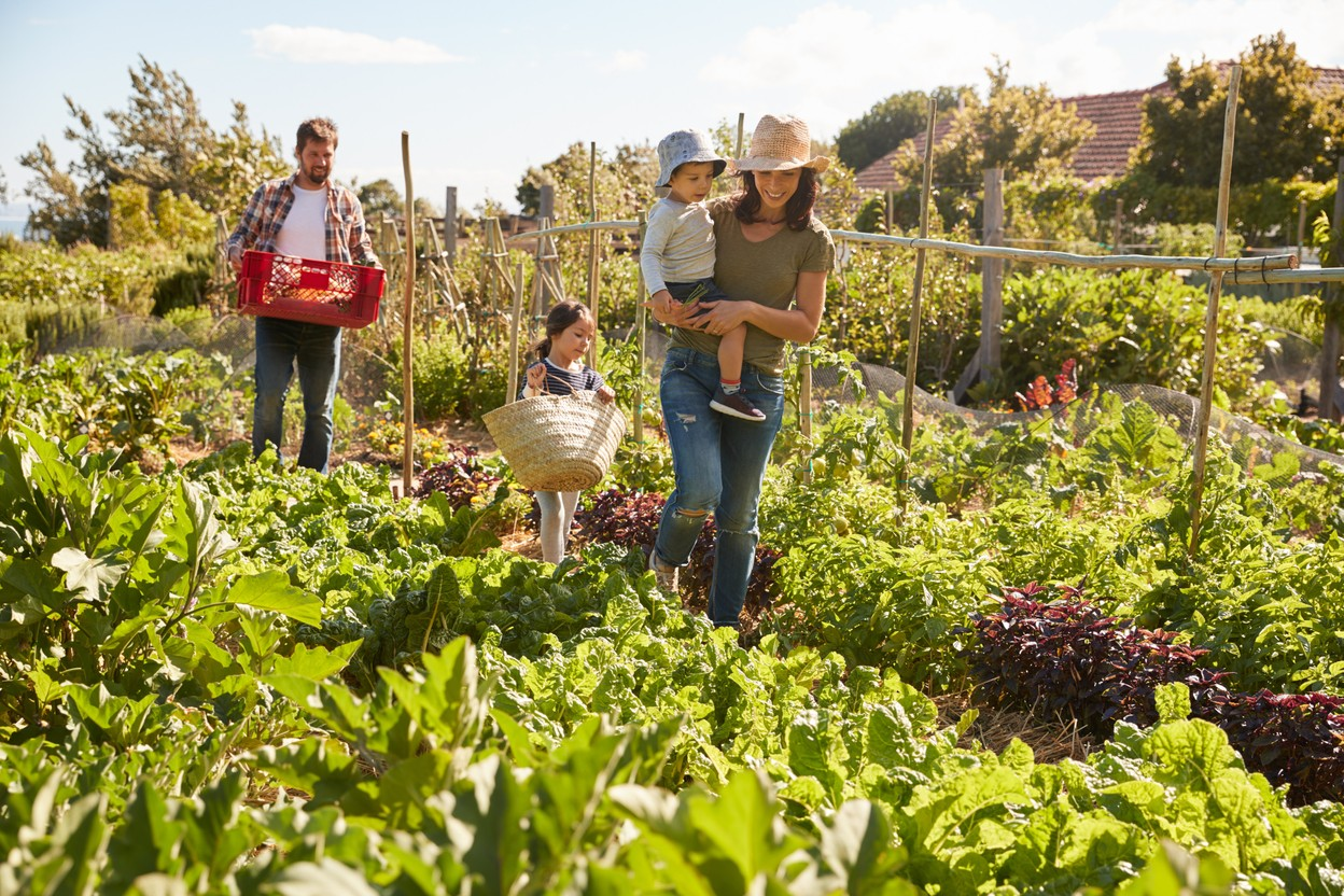 A family is pictured harvesting in an allotment Shutterstock