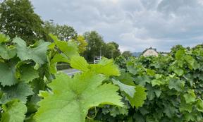 Les vignes s'étendent à perte de vue des deux côtés de la rivière. ((Photo: Paperjam))