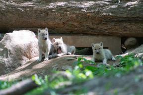 Cinqlouveteaux arctiques sont nés au mois d'avril au parc animalier du Domaine des grottes de Han. ((Photo: Domaine des grottes de Han))
