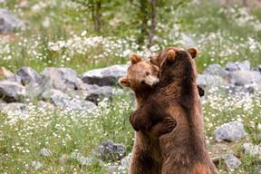 Au début du mois d'avril, les ours bruns et les marmottes sont sortis de leur sommeil hivernal et animent le parc de leur présence et de leurs jeux.  ((Photo: Domaine des grottes de Han))