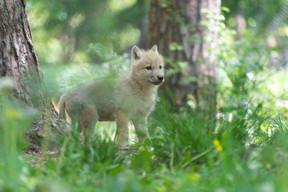 Le parc accueille régulièrement des naissances de louveteaux arctiques. ((Photo: Domaine des grottes de Han))