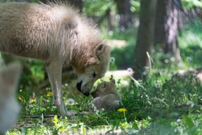 Keysa, la femelle du couple alpha,est entrée en tanière le 17 avril et, quelques jours plus tard, les soigneurs l'ont aperçu avec cinq louveteaux. ((Photo: Domaine des grottes de Han))