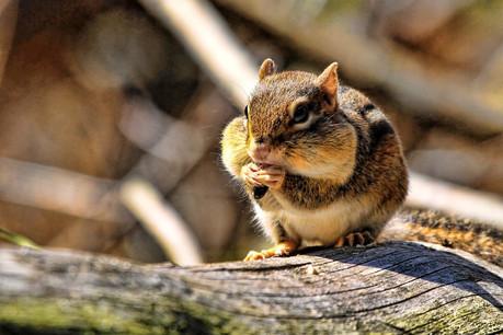 Le chipmunk, cet écureuil popularisé par le film de Disney, rêve de «graines», de revenus tirés du bitcoin. Un sport hautement à risque pour les non-initiés. (Photo: Shutterstock)