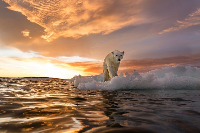 Canada, Nunavut Territory, Repulse Bay, Polar Bear (Ursus maritimus) stands on melting sea ice at sunset near Harbour Islands (Photo : Lyxor ETF)
