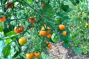 Dans le jardinLët'z Grow: plusieurs variétés savoureuses de tomates cerises. (Maison Moderne)