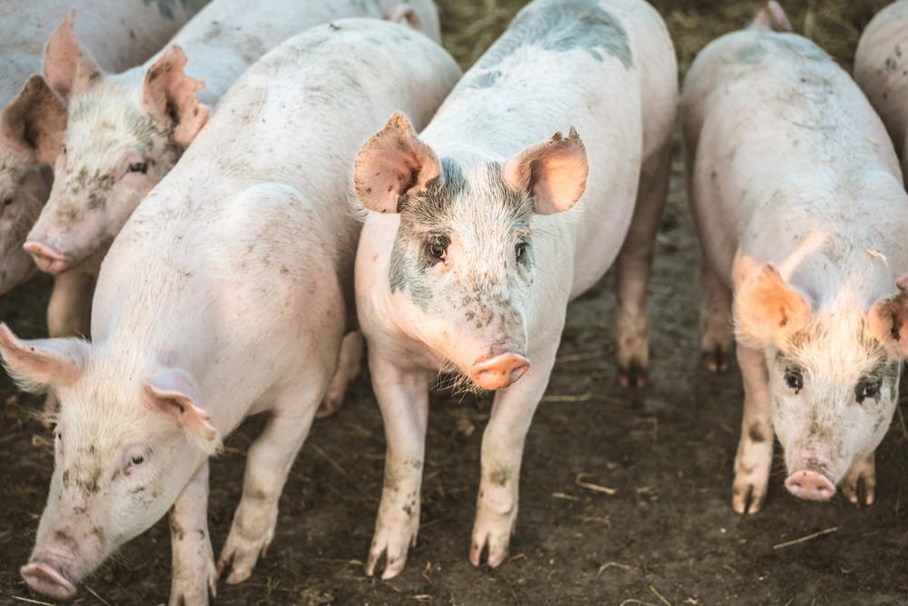La filière porcine luxembourgeoise produit chaque année 150.000 bêtes destinées aux abattoirs. (Photo: Shutterstock)