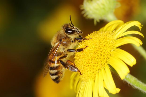 La disparition des pollinisateurs aurait de graves effets sur la planète. (Photo: Shutterstock)