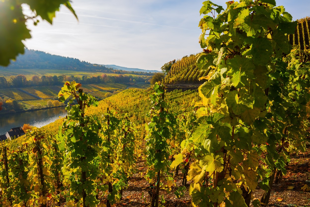 Vineyard at the Moselle in Germany Photo: Shutterstock