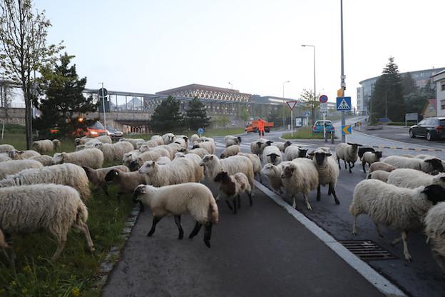 Les ovins ont pris leurs quartiers au Kirchberg ce vendredi matin. (Photo: Fonds Kirchberg)