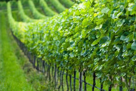 Les vins et crémants luxembourgeois sont mondialement connus pour leur qualité. (Photo: Licence C.C.)