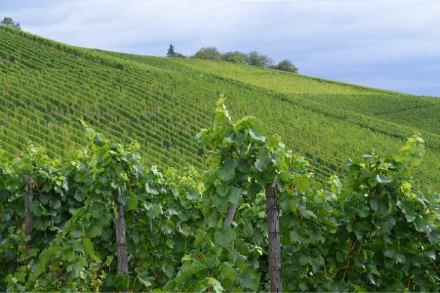 Le vignoble luxembourgeois concerne aujourd'hui 1.295 hectares de vignes répartis en 326 exploitations. (Photo: Paperjam.lu / archives)