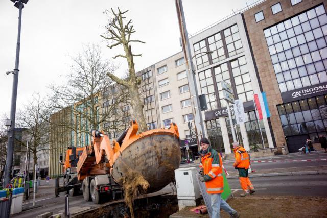Une cinquantaine d'arbres sont déplacés pour quelques mois, et retrouveront ensuite leur place le long des rails du tram. (Photo: Christophe Olinger)