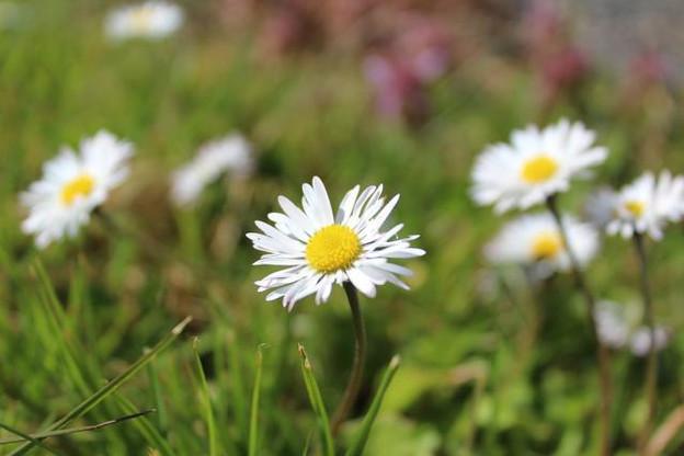 En phytothérapie, la pâquerette est utilisée pour soigner notamment des contusions.  (Photo: Licence C.C.)