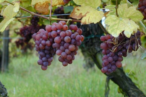 Ce week-end, découvrez les vins et crémants de la région. Photo: Licence CC)