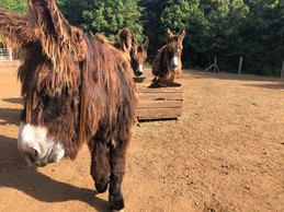 Le parc compte 100 animaux de 25 espèces différentes. Ici, des ânes du Poitou, menacés de disparition. ((Photo: Paperjam.lu))