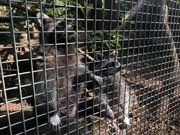Il est interdit de nourrir les ratons laveurs, même s'ils s'approchent volontiers lorsqu'ils voient arriver le soigneur. ((Photo: Paperjam.lu))