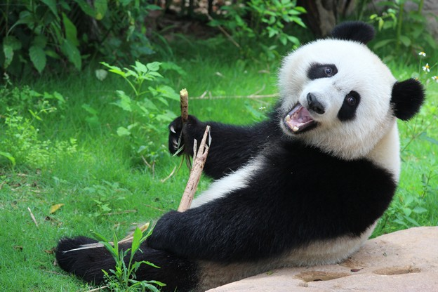 Le groupe «Panda» a beau avoir été détecté il y a longtemps, il ne fait pas beaucoup d'efforts pour se cacher. Mais continue de profiter des failles de différentes applications pour gagner de l'argent. (Photo: Shutterstock)