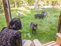 Une impression de vivre un peu avec les loups. ((Photo: MorganeBricard))