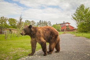 Les ours vivent à proximité des habitations. ((Photo: Morgane Bricard))