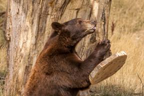 L'ours est fort présent. ((Photo: Morgane Bricard))