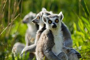 Il y a aussi des lémuriens. ((Photo: MorganeBricard))