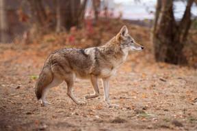Le loup est forcément présent. ((Photo: Morgane Bricard))
