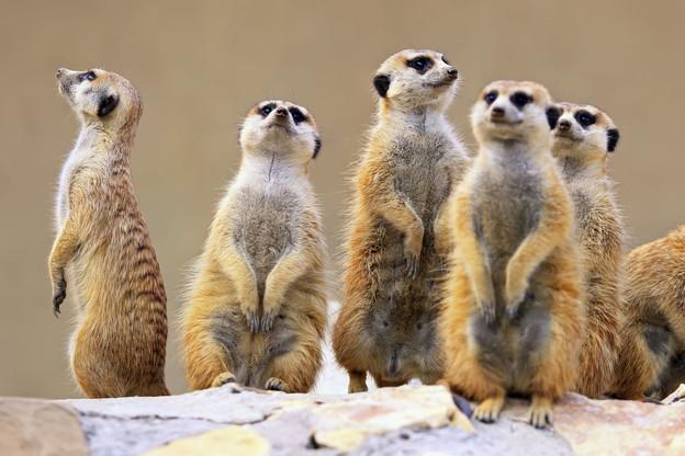 Les suricates figurent parmi les 200 espèces d'animaux hébergées au sein du Parc Merveilleux. (Photo: Shutterstock)