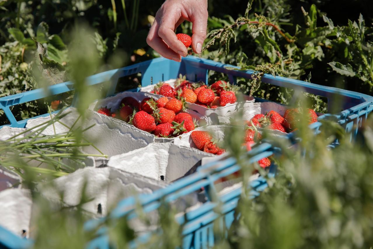 La récolte des fraises aux Paniers de Sandrine à Munsbach. (Photo: Romain Gamba/Maison Moderne)