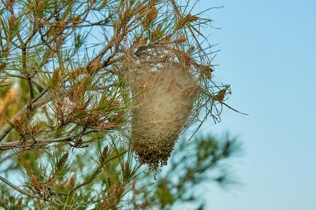 Si la chenille devenant papillon quitte le nid début juillet, elle y laisse ses poils qui demeurent dangereux au moins une année (Photo: Shutterstock)