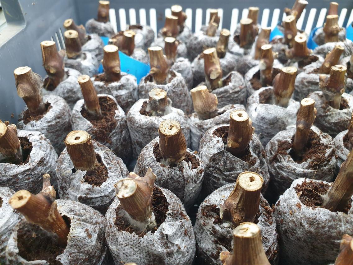 Les 320 sarments de vigne revenus sur Terre ont été replantés en Bretagne et leur développement est spectaculaire, même s'il est encore prématuré d'en tirer des conclusions. (Photo: Space Cargo Unlimited)