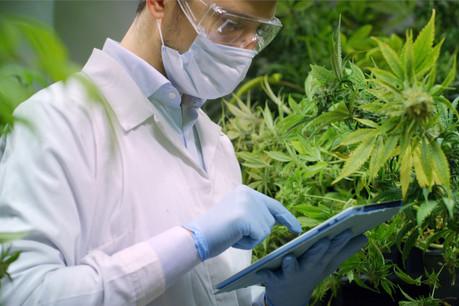 Le cannabis «légal» aura généré un chiffre d'affaires de 16 milliards de dollars cette année. (Photo: Shutterstock)