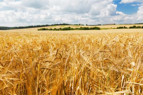 De toutes les céréales, c'est l'orge qui connaît la plus forte baisse de rendement. (Photo: Shutterstock)
