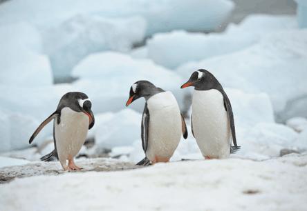 Three penguins  (Photo: iStock-171282122)