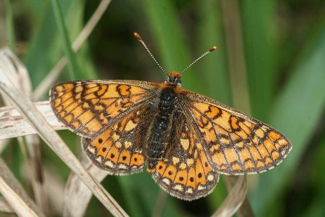 The Marsh Fritillary butterfly, pictured, wasonce a commonly-found butterfly in Luxembourg. Today it is on the brink of extinction Raoul Gerend